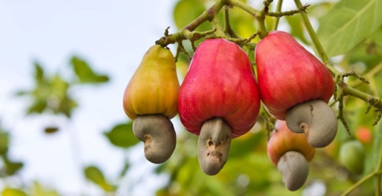 Binh Phuoc Province to inspect cashew farm support