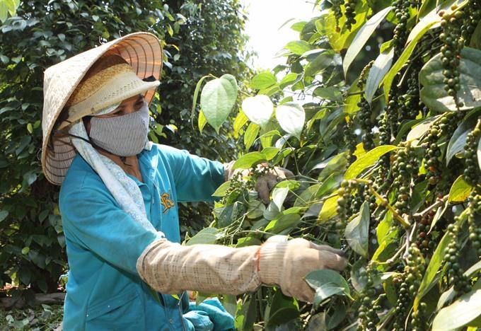 A farmer harvests pepper in the Central Highlands province of Đắk Lắk.