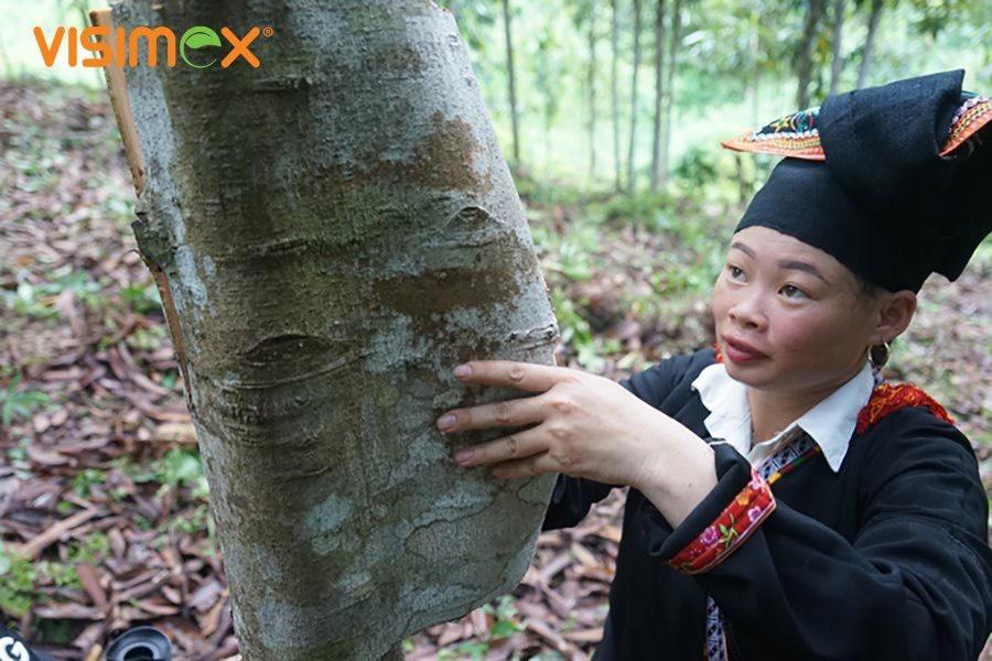 Visimex corporates with farmers to develop organic cinnamon plantations on Yen Bai