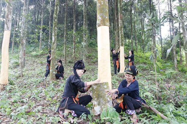 Yen Bai Promotes Organic Cassia (Cinnamon) Production